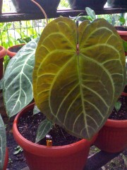 anthurium ace of spades 2